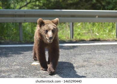 Wild brown bear crossing the street in search for food