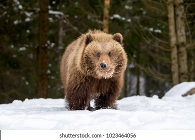 Wild brown bear cub closeup in winter forest