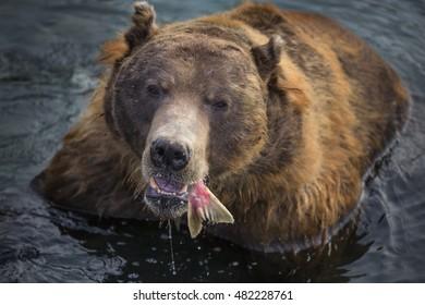 wild brown bear eats fish