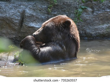 Wild brown bear floating on its back while bathing