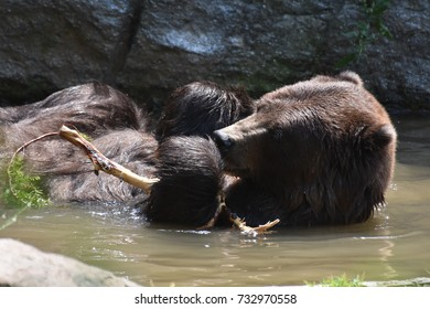 A wild brown bear floating in the water while holding onto a branch
