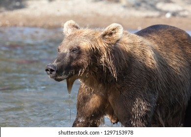 wild-brown-bear-grizzly-fishing-260nw-12