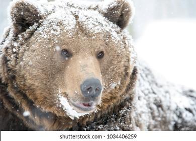 Wild brown bear looking in snow