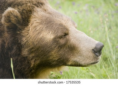 Wild Brown Bear (Ursus americanus horribilis) in Banff National Park Canada