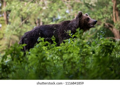 Wild brown bear (Ursus arctos).