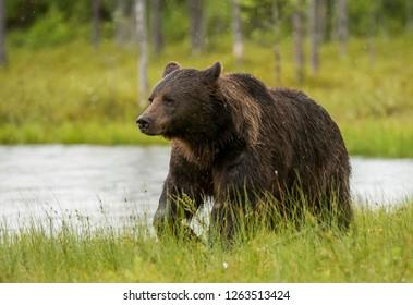 Wild brown bear (Ursus arctos)