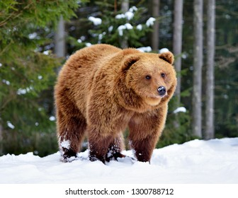 Wild brown bear (Ursus arctos) on the snow