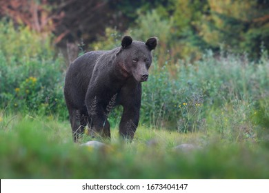 Wild Brown Bear (Ursus arctos) . Natural habitat.