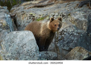 Wild Brown Bear, Ursus arctos,  2 years old cub, hidden among rocks, waits for mother bear.