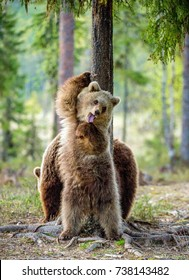 Wild Brown Bears ( Ursus Arctos ) in the summer forest.
