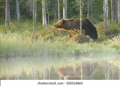 Wild brown bear,ursus arctos, backlighted huge male reflecting itself in calm water surface of foggy lagoon against spruce forest. Bear in typical taiga environment in mating period. Russia border.