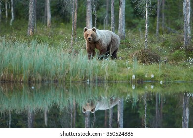 Wild brown bear,ursus arctos,female reflecting itself in calm water surface of small lagoon against spruce forest. Bear in typical taiga environment. Brown bear female in mating period. Russia border.