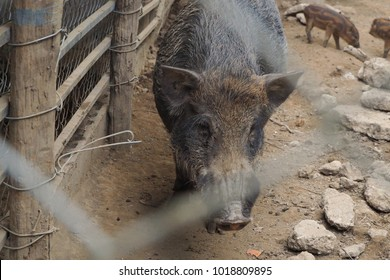 Wild brown boar walking in the corral morning. Wildlife in natural habitat