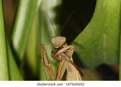 wild brown European praying mantis or mantid Latin mantis religiosa state symbol of Connecticut eating a live cricket or katydid on a calla lily leaf in summer in Italy