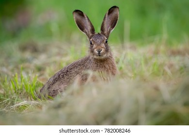Wild brown hare with big ears sitting in a grass.Polad