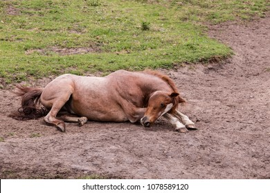 wild brown horse lying on a sandy patch resting in the morning sun