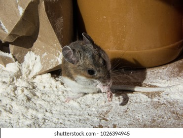 A wild brown house mouse, Mus musculus, washing his face as he stands on a pile of flour in front of a ripped bag. The rodent is in a kitchen cabinet with a jar of peanut butter behind him.