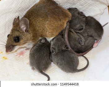 A wild brown house mouse, Mus musculus, nursing her young in the corner of a kitchen drawer on dirty paper towels. There are five small gray babies suckling, and the background is white.
