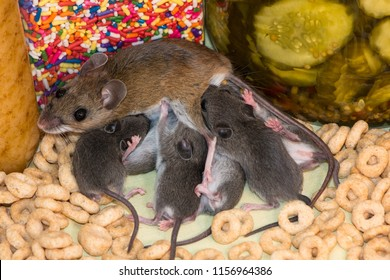 A wild brown house mouse, Mus musculus, nursing her brood on top of a pile of spilled cereal in a kitchen pantry cabinet. There are jars of pickles and colorful candy in the background