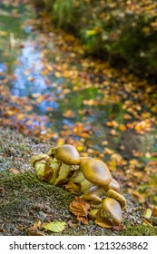 Wild  brown mushroom Stropharia in a Dutch forest in National Park Posbank in the Netherlands
