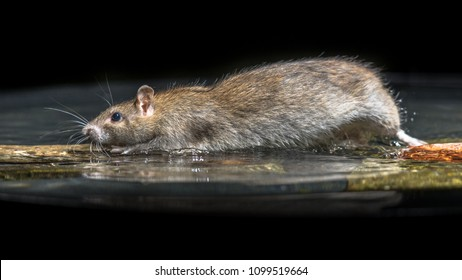 Wild Brown Rat (Rattus norvegicus) moving in water of river