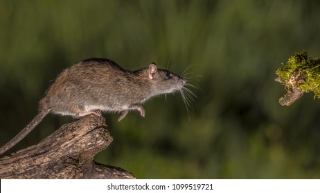 Wild Brown rat (Rattus norvegicus) about to leap from log at night. High speed photography image