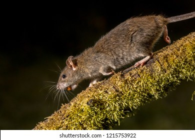 Wild Brown rat (Rattus norvegicus) running on log with stolen nut at night. High speed photography image