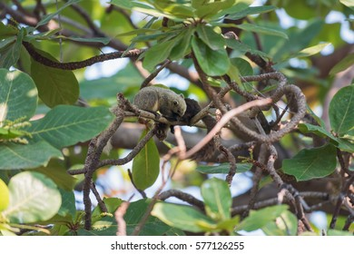 Wild Brown squirrels on a tree in a sunny day