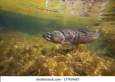 Wild brown trout