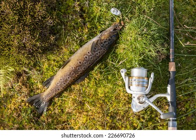 Wild brown trout caught on a spinner laying on grass with rod and reel next to the fish