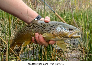 wild brown trout caught and released