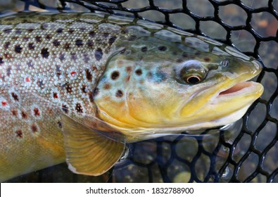 Wild brown trout caught and released from the Owyhee River near Boise, Idaho