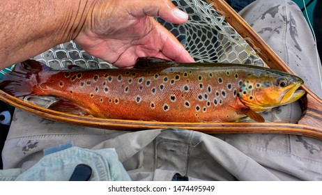 Wild brown trout from the river