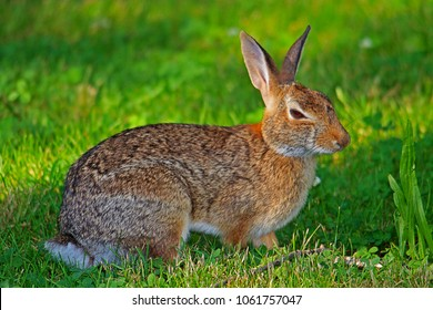 A Wild Brown and White Rabbit Feeding on Grass