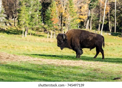 Wild buffalo or bison shot in autumn, north Quebec Canada.
