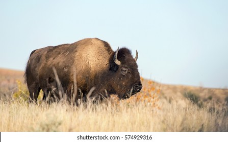Wild buffalo in tall grass at Theodore Roosevelt National Park in North Dakota.