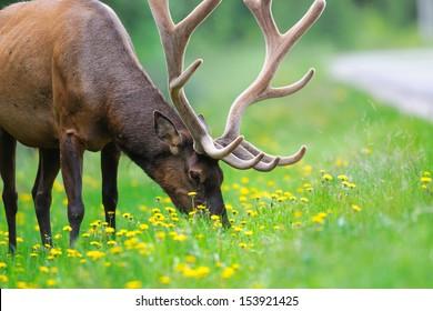 Wild Bull Elk, Banff National Park Alberta Canada
