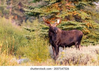 Wild Bull moose in Grand Teton National Park, Wyoming