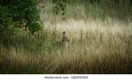 Wild bunny possing in profile and hidden in the grass. Medium size and brown colored. Patagonia, Argentina