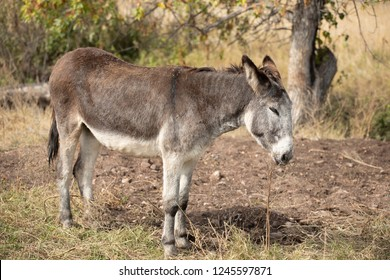 Wild burros in Custer State Park, South Dakota