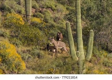 Wild Burros in the Desert in Spring