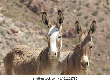 Wild burros roaming the outskirts of Oatman, Arizona.