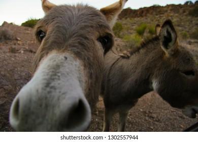 Wild Burros surround car as tourist feed them outside Oatman, Arizona along Route 66