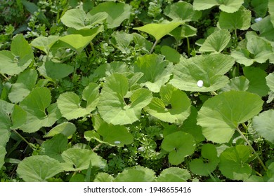 Wild butterbur leaves overgrown with lush