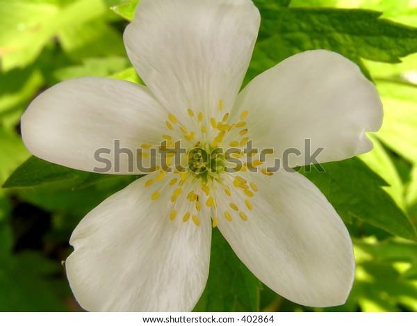 Wild button flower