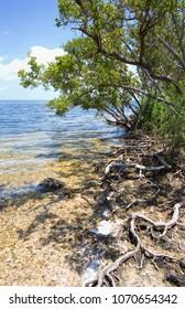 wild buttonbush (occidentalis cephalanthus) on the shores of Biscayne National Park