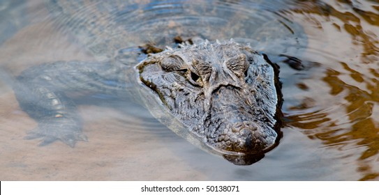 A wild Caiman (Alligator) partially submerged in clear water - Iguazu