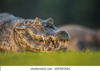 wild caiman yacare relaxing out of water