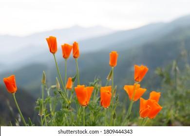 Wild California Poppies on Gray BackGround in Ojai, California