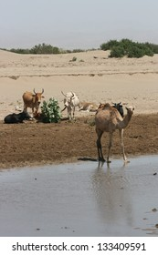 A wild camel drinks from a river while cattle watch in the  desert of Ethiopia